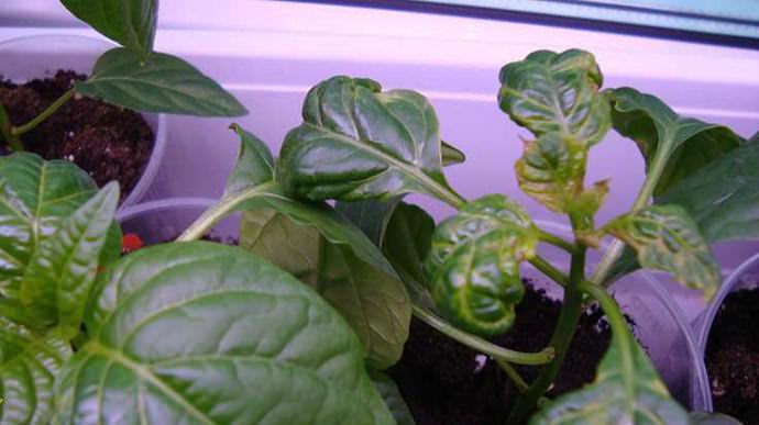 Самой вероятной и безвредной причиной того, почему скручиваются в виде лодочки листья перцев, являются особенности роста растения
