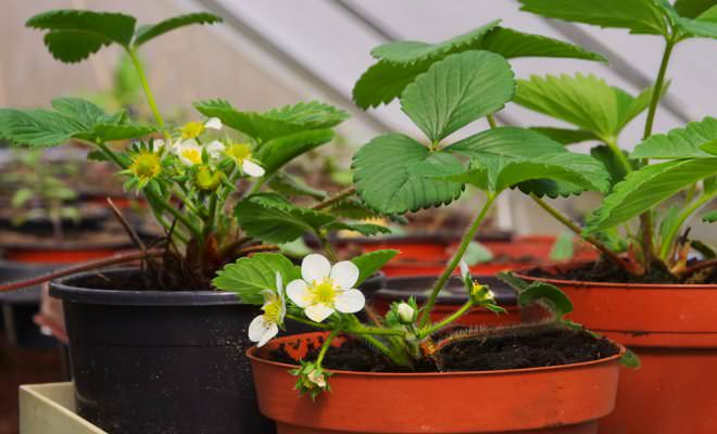Календарь работ в саду и огороде рекомендует выращивать в начале января дома землянику