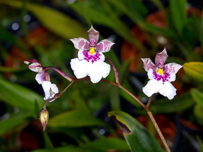 Период цветения «Мотылькового Онцидиума» приходится на начало августа и длится не более месяца