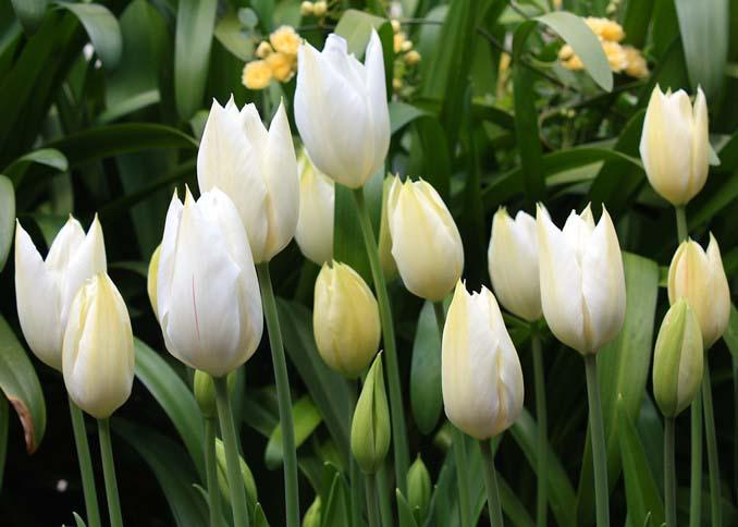 Белые тюльпаны принято дарить и для того, чтобы попросить прощения