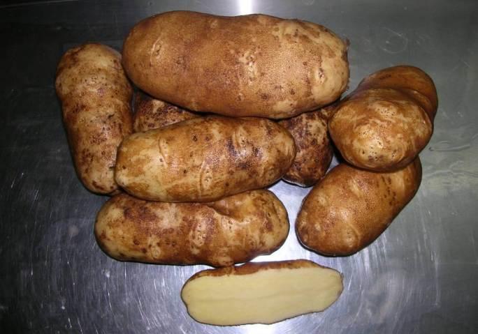 Картофель «Инноватор» – относительно новый и пока недостаточно популярный на территории нашей страны сорт