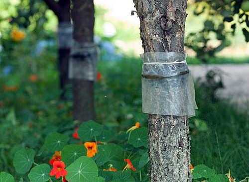 Ловчие пояса помогают бороться с садовыми вредителями