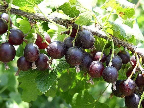 Ягоды йошты обладают не только замечательным вкусом и свежим ароматом, но и некоторыми лечебными свойствами