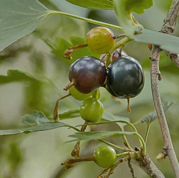 Хорошие урожаи йошта дает на почвах, которые окультурены и качественно удобрены