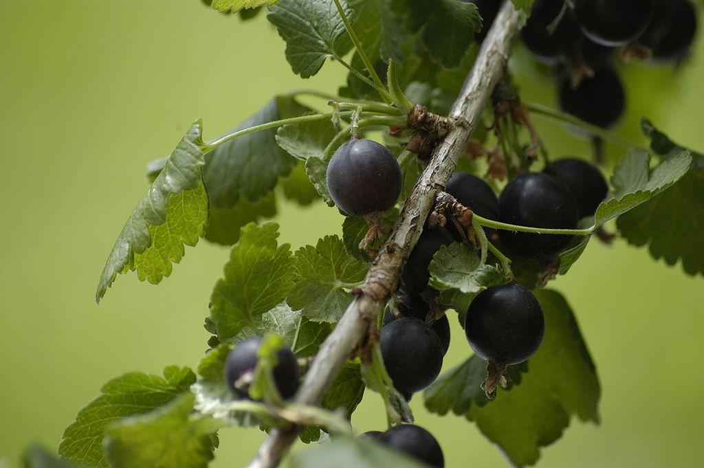 Йошта — это многолетний, высокорослый, раскидной ягодный кустарник