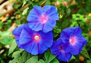 Ипомея – это цветок семейства Вьюнковых