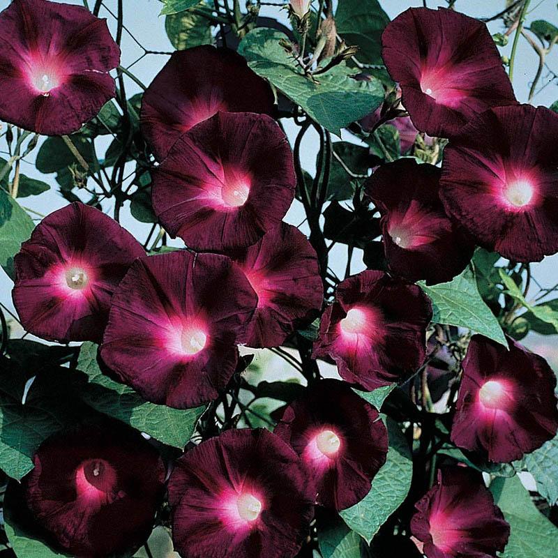Основные его особенности: цветок нетребователен к почве, неприхотлив, лучше растет при хорошем солнечном освещении
