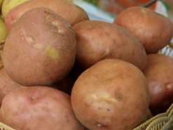 Картофель «Ирбитский» относится к перспективным сортам