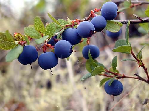 Плоды ирги очень вкусны и полезны