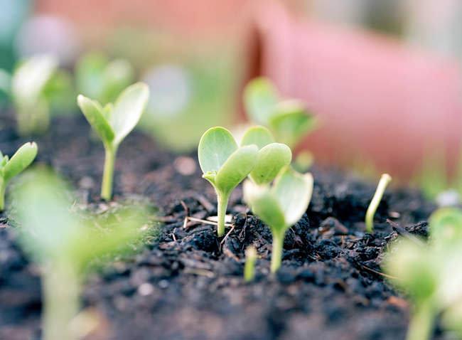 В грунт семена арбуза высевают в тот момент, когда почва на глубине 10-15 см нагревается до температуры в 6-10 градусов
