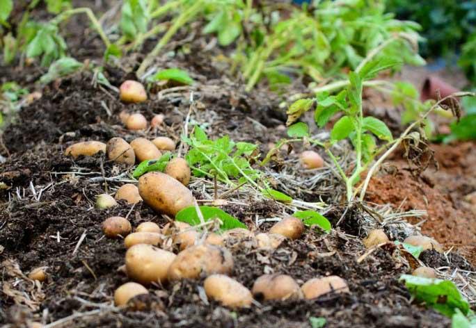 Картофель «Елизавета» славится высокой урожайностью вне зависимости от погодных условий