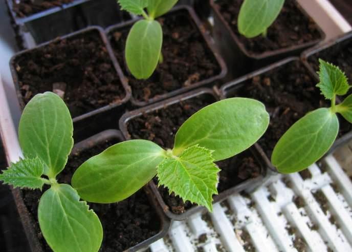 Допускается выращивание сорта «Нежинский» рассадным способом