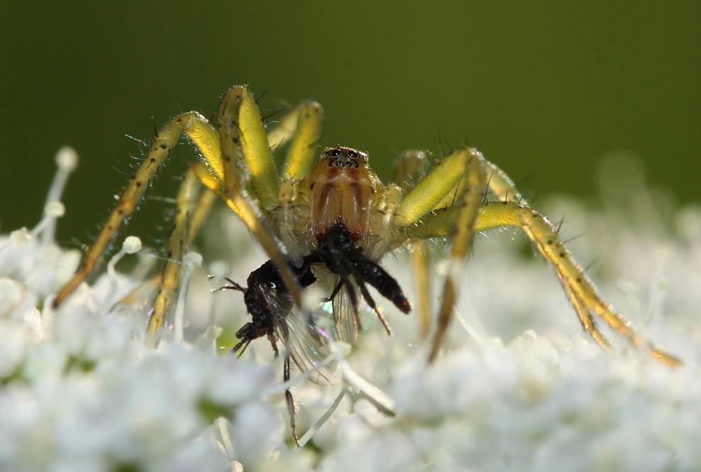 Паукообразные питаются различными вредными насекомыми