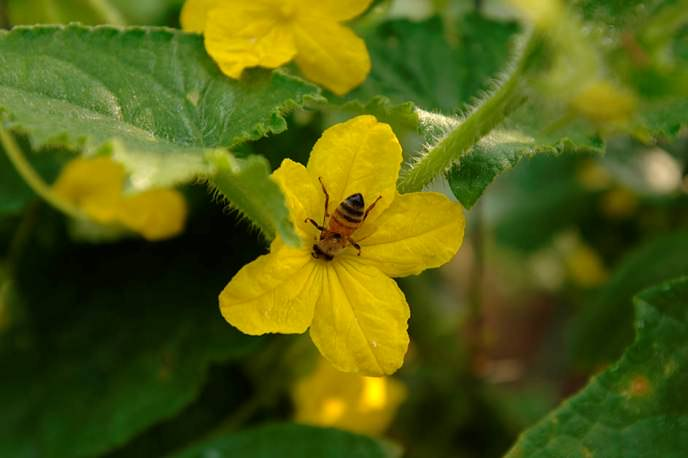Пчелоопыляемые сорта для закрытого грунта выбираются огородниками по причине того, что их плоды более вкусные