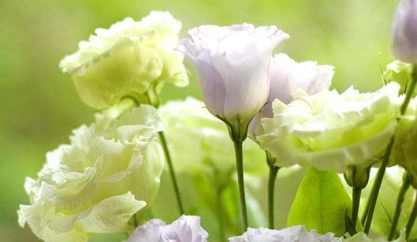 «Ирландская роза» включена в семейство горечавковых