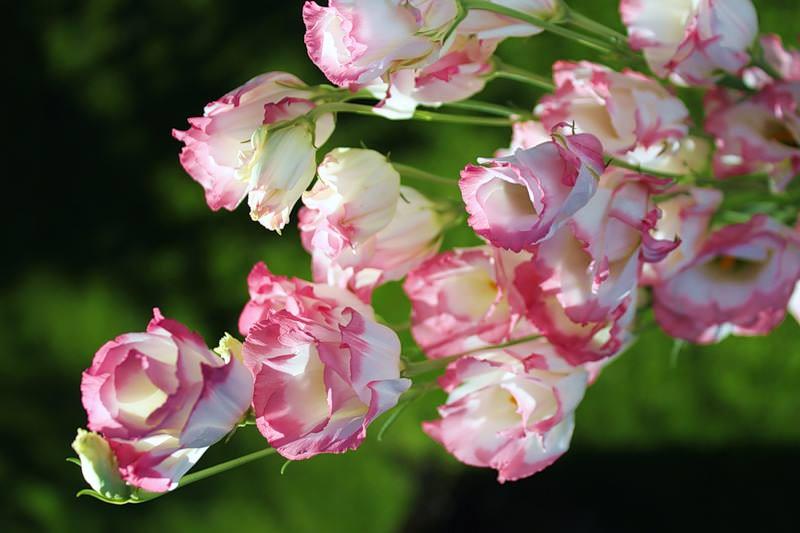 Эустома – основной конкурент розы