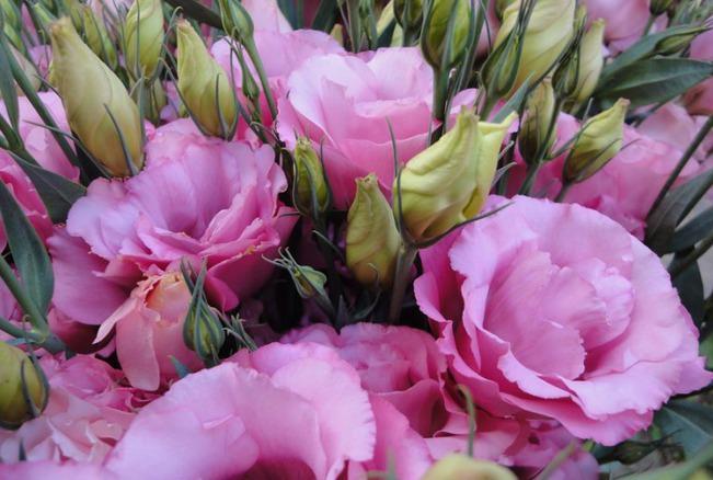 Эустома, выращивание которой идет как однолетника, цветет с июля по сентябрь