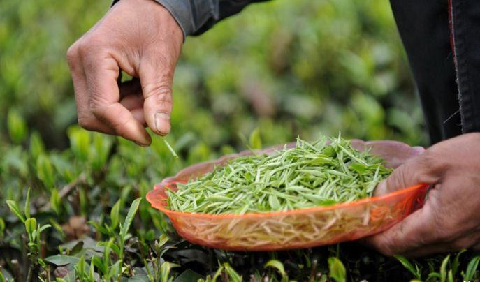 Проще всего получить сырье для зеленого чая – лист скручивают, прессуют и сушат