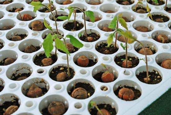 При посеве семян образуется разное потомство, не похожее на материнское растение