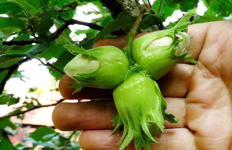 Фундук является неприхотливым к месту посадки и уходу растением