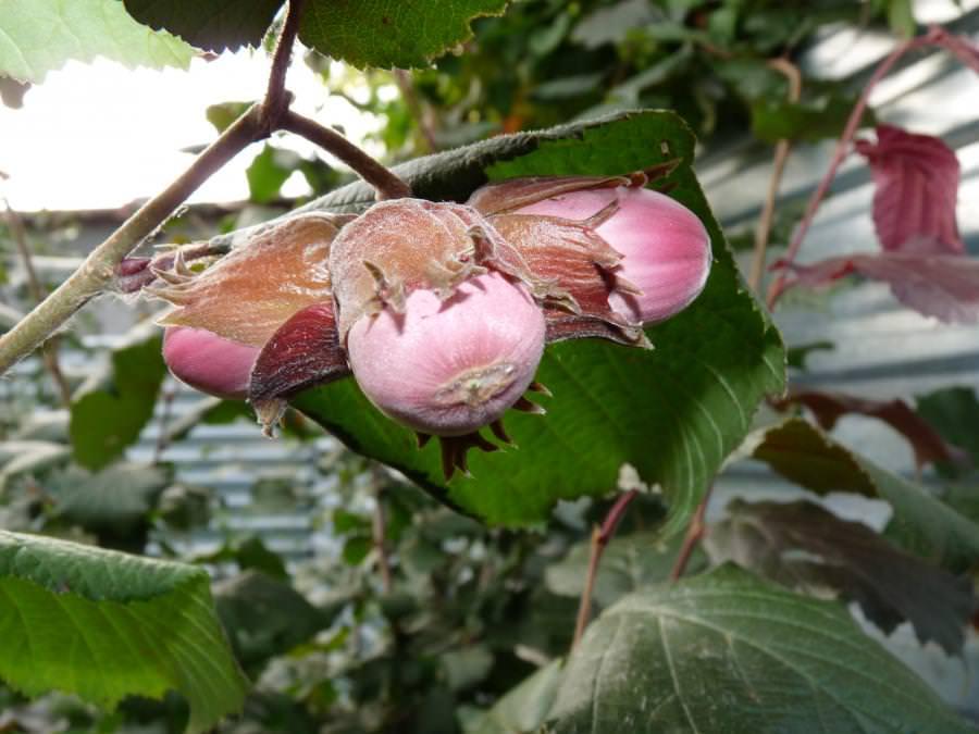Созревают плоды с конца августа. Их сбор происходит после того, как они приобретут светло-коричневую окраску