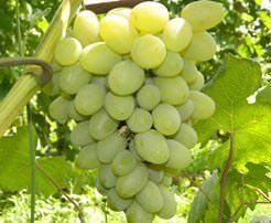 Виноград «Галахад» относится к известным и популярным у садоводов сортам
