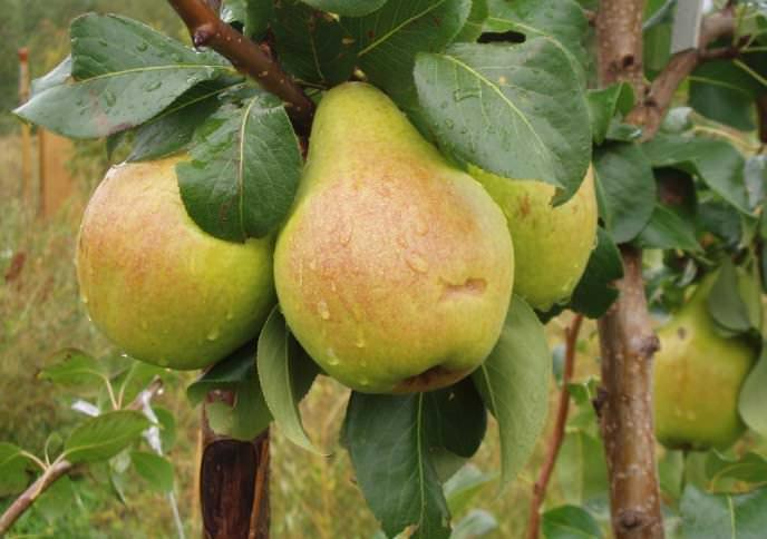 Груша «Москвичка» – среднее по размерам дерево с высокой зимостойкостью и средними по размеру плодами