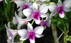 Самым прекрасным в комнатных орхидеях является период их цветения