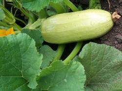 Кабачки выращивают как через рассаду, так и посевом семян кустовых кабачков в открытый грунт