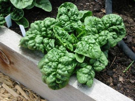 Выращивание шпината на даче: подходящие сорта, особенности агротехники, выбор почвы, посев, уход, удобрение, сбор урожая