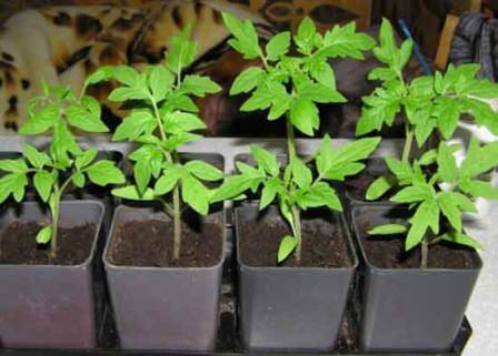Лучше выбирать растения из ящиков или кассет, ведь корневая система рассады на момент приобретения должна быть закрыта