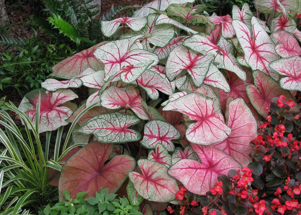 В летнее время эти растения поливают обильно