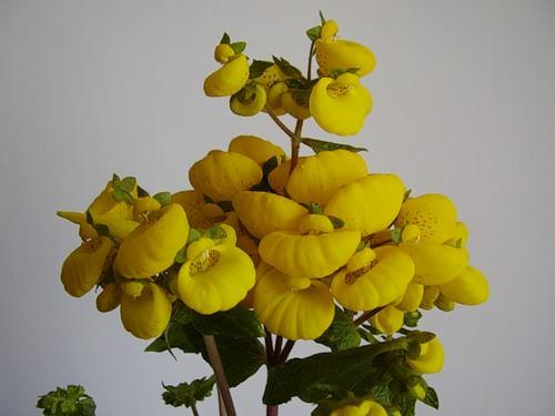 Если вы хотите, чтобы растение в горшке было довольно кустистым, высаживайте в один горшок сразу несколько черенков. Через 3-4 недели они укоренятся