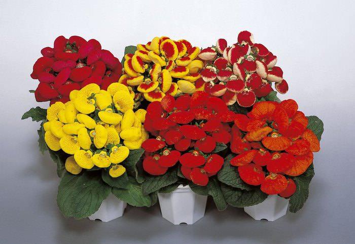 Зачастую кальцеолярия выращивается в качестве однолетнего растения, но вы можете сохранить ее на следующий год