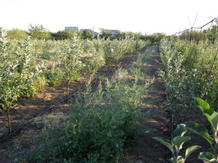 Карликовый сад плодыв деревьев: посадка и уход