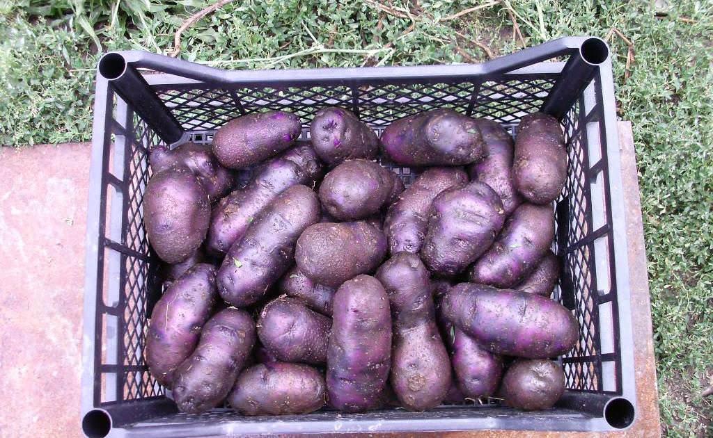 картофель синего цвета сорт