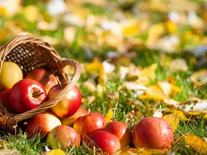 Календарь работ в саду и огороде в конце октября рекомендует заняться сбором яблок