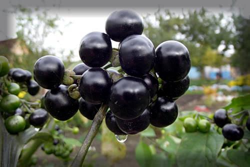 Санберри – пока ещё малоизвестная ягода на наших участках