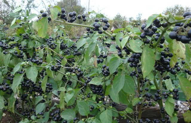 Достаточно часто можно услышать, как это растение называют «ягодой солнца»