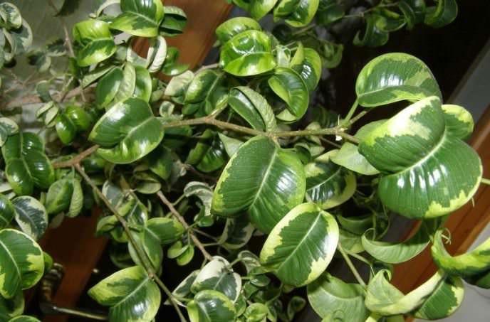 «Барок» (Ficus Benjamina«Barok»)