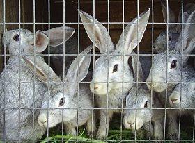 Выращивание кроликов – непростая, но прибыльная задача