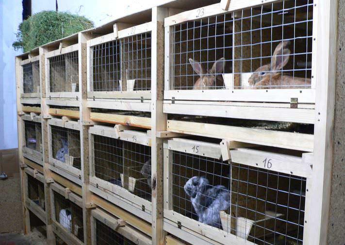 Клеточный вариант является оптимальным для начинающих кролиководов