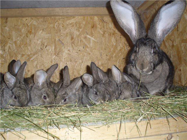 После рождения крольчат, пока самка занимается ими, не подпускайте самца