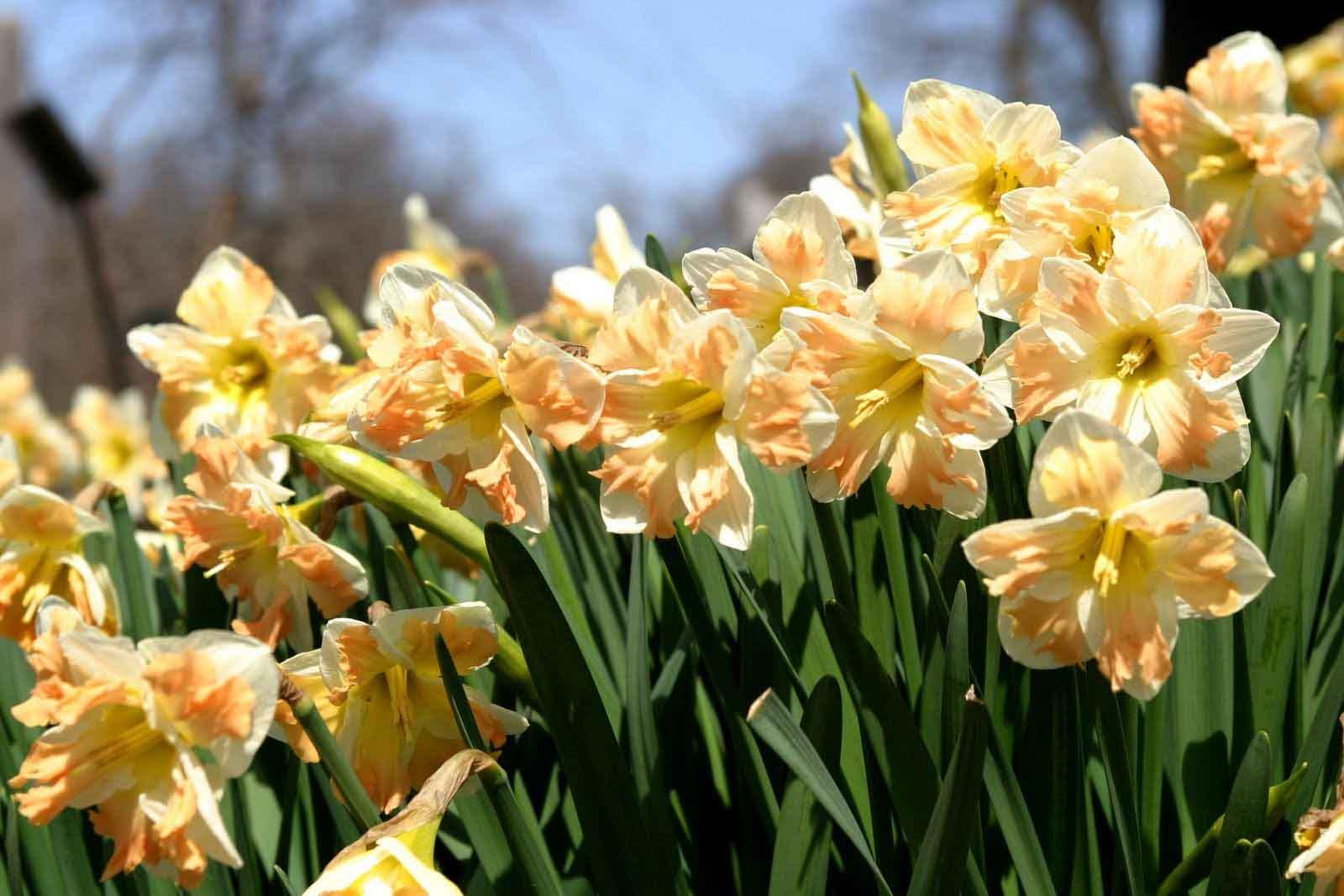 Цветы могут быть одиночными или располагаться сразу по нескольку штук