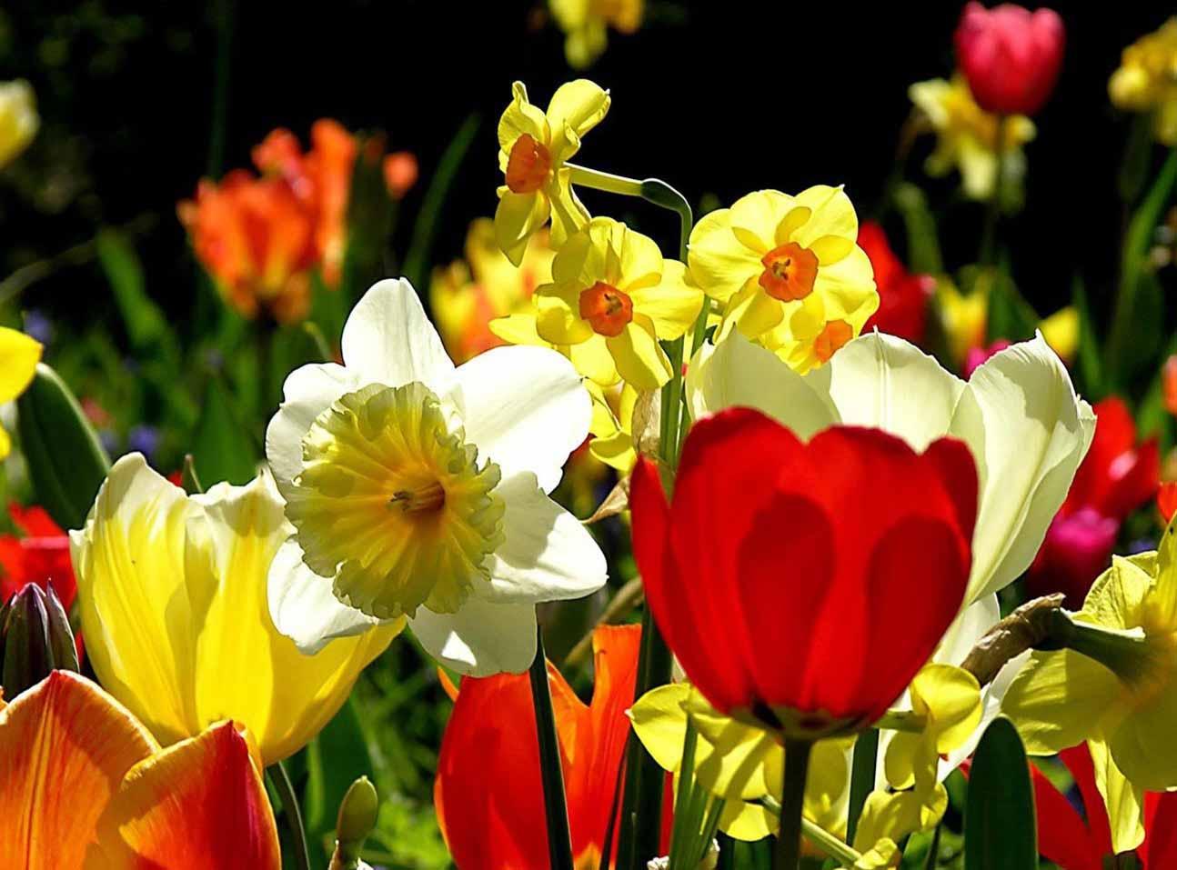 Нарциссы — это цветы, которые прекрасно смотрятся в комбинации с другими растениями