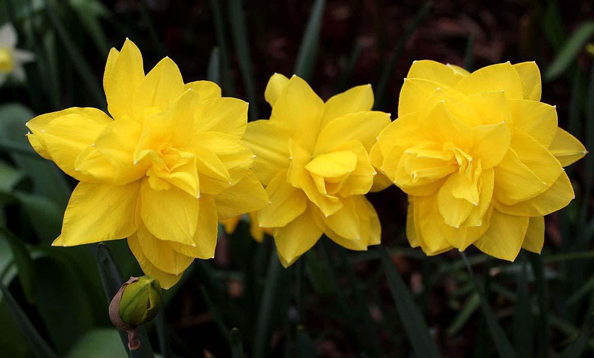 Период цветения у нарциссов относительно длительный и растягивается на апрель-июнь