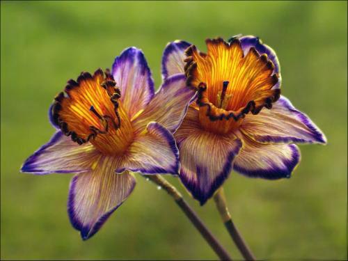 Нарцисс весьма распространён на территории Европы