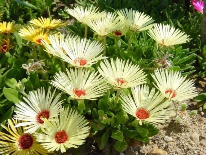 Название растения переводится как «полуденный цветок»