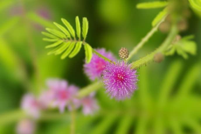 Соцветия мимозы представлены плотными головками или кистями