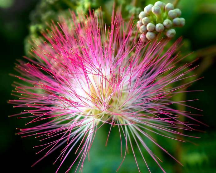 В нашей климатической зоне мимоза выращивается в условиях оранжерей и зимних садов